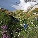 Blumenpracht am Säntis