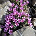 Diese Blume trägt nur zu gut ihren Namen. Sie bricht tatsächlich einfach aus den Steinen...
