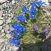 Frühlingsenzianen