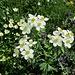 Anémone à fleurs de narcisse
