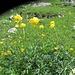 Einfach immer schön die Trollblumen