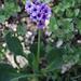 Klebrige Primel oder für die Lateiner: Primula glutinosa