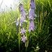die bärtigen Glockenblumen als Gruppe - von [u MaeNi] fantastisch im Detail fotografiert