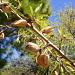 Wilde Mandeln wachsen überall. Sie schmecken herrlich nach Amaretto und sind nicht zu vergleichen mit denjenigen bei uns im Supermarkt!