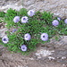 Globularia cordifolia, Globulariaceae