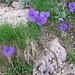 Viola calcarata, Violaceae