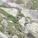 Marmotta-sentinella