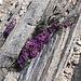 Saxifraga oppositifolia: il fiore più alto d'europa http://www.montagna.tv/cms/?p=34858