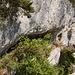 Ein Steinadler trägt ein erbeutetes Gamskitz zum Horst um seinen noch winzigen Jungvogel damit zu füttern. Bei dem Nahrungsangebot wächst der dann entsprechend schnell...