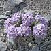 Ein violettes Bleame, das direkt im schrofigen Gipfelaufbau der Hinteren Brandjochspitze wächst.