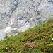 Alpenrosen vor den Schächentaler Windgällen