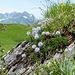 herzblättrige Kugelblumen