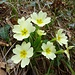 Primeln mit viel größeren Blüte als denen unserer Schlüsselblumen. Sonst sehr ähnlich. Keine Ahnung wie die heißen...