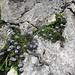 Kugelblumen im Schrattenkalk