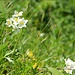Blumen im Aufstieg zum Braunedlkogel