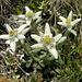 Edelweiss  am Scheene Riebe, unter  dem Grat