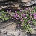 Alpen-Thymian (Thymus alpigenus) auf Kalkfelsen....