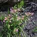 ....und daneben der Rundblättrige Hauhechel (Ononis rotundifolia)