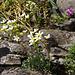 Immergrüner Steinbrech (Saxifraga paniculata)