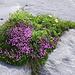 Stengelloses Leimkraut (Silene acaulis), Silbermänteli (Alchemilla alpina) und Silberwurz (Dryas octopetala)