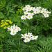 Im Abstieg zum Schwarzbach die Narzissenblütige Anemone (Anemone narzissiflora), daneben Wolfsmilch