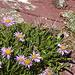 Alpenaster, daneben Artemisia absinthium, der Stoff, aus dem die (Absinth-)Träume sind.