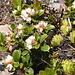 Vermutlich Preiselbeeren (Vaccinium vitis-idaea)