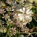 Blumenwiesen in Tschierv