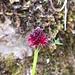 Orchis Vanillé ou Nigritelle Noirâte
