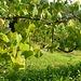 Die Reben gedeihen bestens dank feuchtem Wetter
