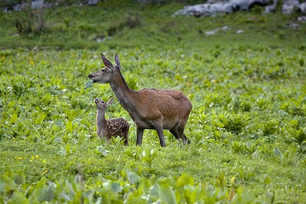 Hirschkuh mit ihrem frischen Kalb. Es verfolgt gespannt jede Bewegung der Mutter um zu lernen.