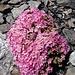 Alpen-Mannsschild (Androsace alpina). Eine meiner Lieblingsbergblumen, duftet sehr angenehm.