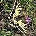 Schwalbenschwanz. Ein prächtiger Schmetterling.