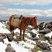 """01.07.2012. Im Lager 1. - Mit Pferden erfolgt der Transport von Gepäck, Verpflegung u. s. w. Dieses wird gleich die """"Heimreise"""" antreten."""