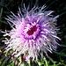 02.07.2012. Im Lager 1. - Um ehrlich zu sein: Eine üppige Blumenpracht am Rand der Aufstiegswege zum Ararat ist nicht zu vermelden, vermutlich schmeckt den zahlreichen Weidetieren die eine oder andere schöne Pflanze auch besonders gut. Einige sehenswerte, kleine Blüten - so wie z. B. diese - sind aber doch zu finden.