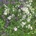 Timo,Achillea,Dianthus silvester