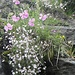 Dianthus silvester