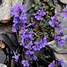 Linaria Alpina, cresce fino ai 3500mt