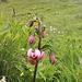 Giglio martagone (Lilium martagon)