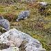 Schneehühner im Jotunheimen. Als sie uns bemerkten, versuchten sie davon zu schleichen. Über Steine, die dabei im Weg waren, gab es dann jeweils einen recht auffälligen Hopser bevor wieder weitergeschlichen wurde...