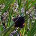 """Bergfrühling, …dieses Pflänzchen ist nun kein """"Gjät""""… Schwarzes Kohlröschen, oder Männertreu, eine Orchideenart und schmeckt nach Vanille. Hatte ganz viele aber nur ein Foto war brauchbar, habe nicht aufgepasst bei der Fokussierung…"""