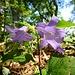 auch die Nesselblättrige Glockenblume zeigt sich fotogen