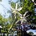 ... mit Dutzenden der feinen Graslilien