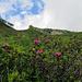 Die Route ist was für Alpenrosen-Liebhaber. Die Hänge sind voll davon, der Weg geht mittendurch.