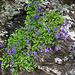 Am Wegrand die Rundblättrige Glockenblume (Campanula rotundifolia)