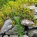 Felsen-Mauerpfeffer auf Trockensteinmauer (Sedum rupestre)