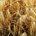 Golden Rye