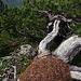 Ein alpiner Ameisenhaufen auf dem absolut höchsten Punkt (-: Kleine Steck- Ameisen?