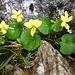 Wie heisse ich? Dank [u bikerin99] heisse ich Gelbes Bergveilchen (Viola biflora).