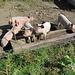 Glückliche Alpschweine auf Tunetschalp